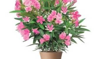 Олеандра цветок как ухаживать дома