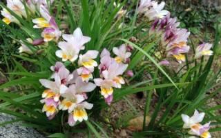 Фрезия выращивание и уход в открытом грунте на урале