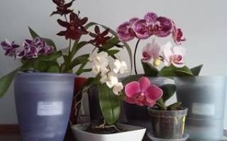 Уход за орхидеей фаленопсис в домашних условиях во время цветения