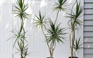 Драцена уход в домашних условиях полив и подкормка зимой