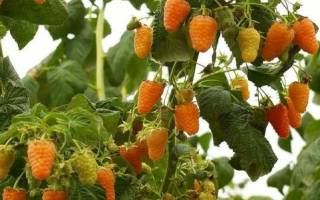 Уход за малиной оранжевое чудо осенью