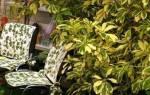 Комнатное растение декоративно лиственное