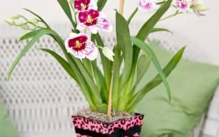 Как ухаживать за орхидеей мильтония в домашних условиях