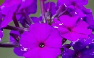 Флоксы уход осенью после цветения
