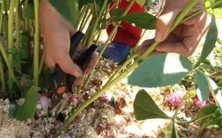 Пионы размножение корневыми черенками