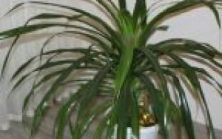 Уход за панданусом полив освещение температура влажность воздуха удобрение