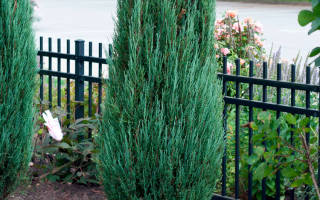 Можжевельник блю арроу размер взрослого растения в длину в ширину