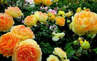 Календарь ухода за розами осенью