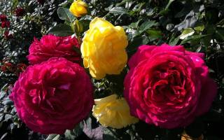 Как ухаживать за черенками роз в домашних условиях