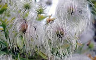 Клематисы уход осенью в открытом грунте