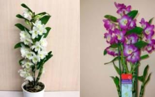 Уход после цветения за орхидеей дендробиум в домашних условиях