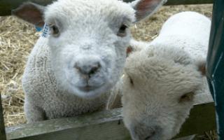 Уход за овцами осенью