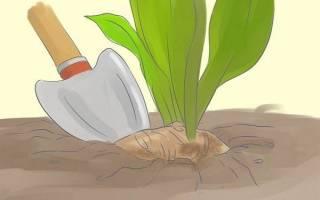 Хранение каллы после выкапывания осенью