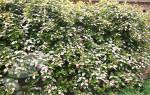 Актинидия коломикта посадка и уход осенью