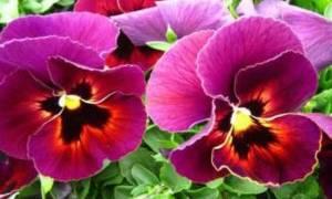 Цветок виола однолетний или многолетний
