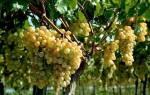 Как вырастить виноград из черенка осенью