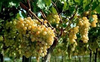 Виноград из черенка осенью