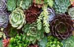 Что такое суккуленты растения