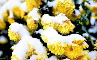 Как сохранить хризантему в саду зимой