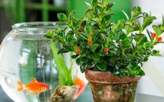 Золотая рыбка комнатное растение