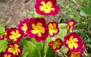 Примула многолетняя садовая во время цветения