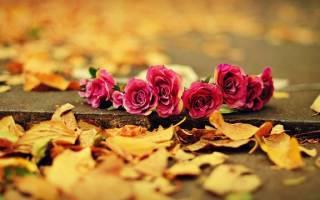 Розы осенью уход и подготовка к зимнему укрытию