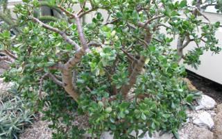 Денежное дерево опадают листья причины