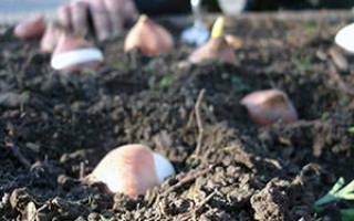 Как садить луковицы тюльпанов осенью