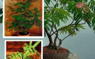 Бонсай альбиция выращивание из семян