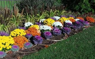Хризантема любит открытые солнечные поверхности