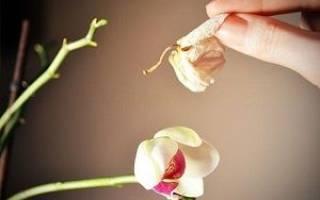 Уход за орхидеями фаленопсис после цветения в домашних условиях