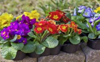 Уход за садовой примулой осенью