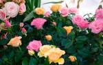 Цветок домашний как роза как ухаживать