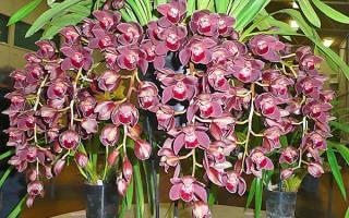 Как ухаживать за орхидеей цимбидиум