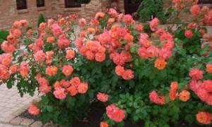 Кустистые розы посадка и уход