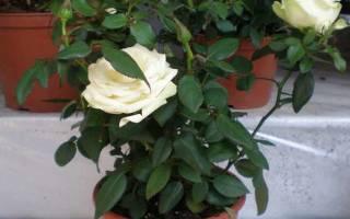 Розы уход осенью подготовка к зиме комнатные