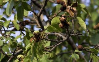 Орех грецкий это дерево или кустарник