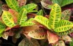 Как ухаживать за цветком кротон в домашних условиях