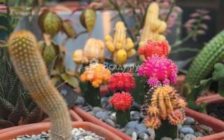 Цветущие кактусы на фестивале тропическая зима