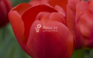 Тюльпаны сорта brilliant star