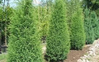 Можжевельник это хвойное или лиственное дерево