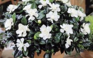 Цветок гардении жасминовидная описание