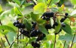 Арония морозоустойчивое растение