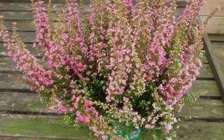Как выращивать вереск в открытом грунте