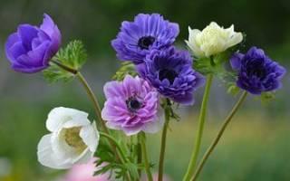 Анемон цветок посадка и уход