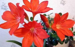 Цветок валотта как ухаживать