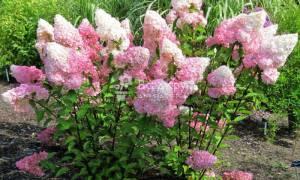 Метельчатая гортензия отличается необычной формой соцветий
