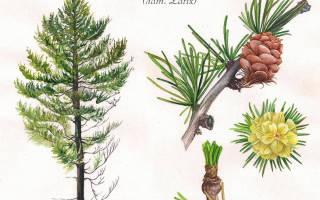 Чем лиственница отличается от других хвойных деревьев