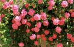 Как ухаживать за плетистыми розами