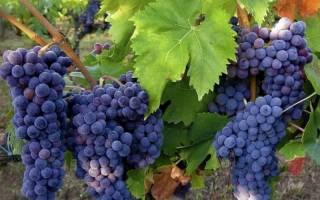 Как и когда сажать виноград черенками в домашних условиях